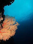 Orchid Island, Taiwan --  A big Gorgonian sea fan on a reef wall.