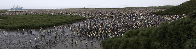 The huge King Penguin (Aptenodytes patagonicus) colony at Salisbury Plain, South Georgia