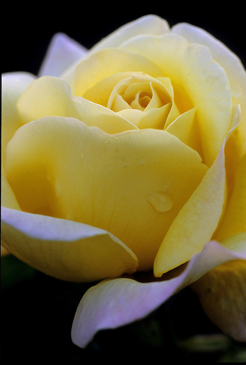 Close-up of single opening bloom of yellow Rosa 'Peace' at twilight, Rose Garden Stanley Park, Vancouver, BC