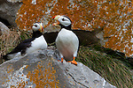 Horned puffin(s), Lake Clark National Park, Alaska