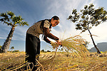 Nob Chan harvests her rice in Khnach, a village in the Kampot region of Cambodia. She has used organic fertilizer to improve her soil fertility and increase her harvest.