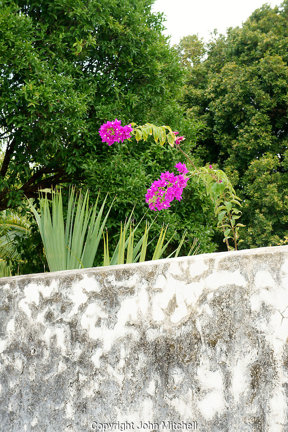 Flower overhanging a stone wall at Hacienda Yaxcopoil, Yucatan, Mexico.