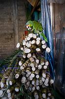 Parot purched on sugar cane. Central de Abastos, Oaxaca