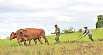 People displaced by war, soldiers, and other poor rural residents of the Congo learn how to use oxen for plowing at an agricultural school sponsored by the United Methodist Committee on Relief (UMCOR) in Kaminsamba, Democratic Republic of the Congo. Participants, some of whom stay at the center for several weeks, learn sustainable agricultural practices, animal traction, and beekeeping.