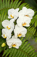 Phalaenopsis amabilis<br /> Orchid
