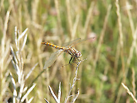 Dragonfly in reposive mood on a summer's day...