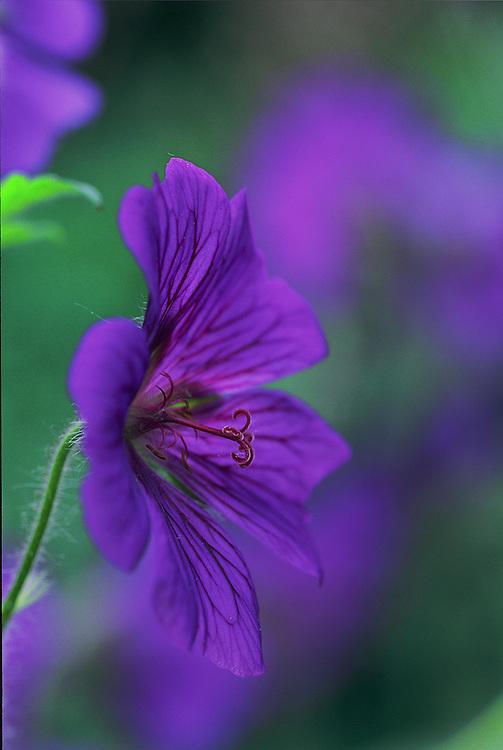 Close-up portrait of purple geranium x magnificum flower