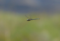 339570019 a wild male paddle-tailed darner aeshna palmata flies over the pond at river springs mono county california