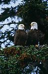 Bald eagles, Glacier Bay National Park and Preserve,  Alaska