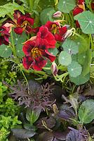 Gourmet Salad greens including edible Black Velvet Nasturtium flowers