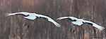 Japanese Cranes, Japan