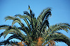 palm tree<br /> palmera<br /> Dattelpalme