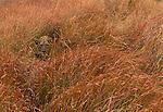 African lion in tall grass, Okavango Delta, Ngamiland, Botswana