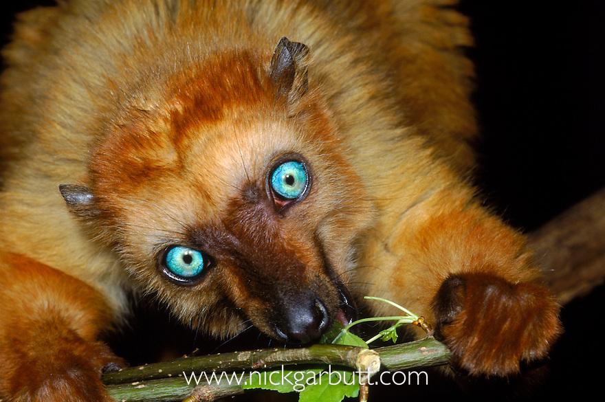 Female Blue-eyed Black Lemur (Eulemur macaco flavifrons) feeding. From the Ampasindava Peninsula, north west Madagascar. (Critically Endangered)