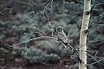 Snow falls on a great gray owl perched on a branch.