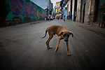 cuban stray dog in havana street