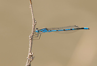 320240003 a wild male familiar bluet  damselfly enellagma civile perches on a dried grass stem over a stream at santa ana national wildlife refuge in the rio grande valley of south texas united states