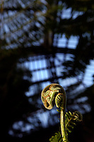 Plant History Glasshouse (formerly Australian Glasshouse), 1830s, Rohault de Fleury, Jardin des Plantes, Museum National d'Histoire Naturelle, Paris, France. Detail of cyathea australis tree fern tubercle unfurling in the afternoon light, with the glass and metal roof structure in the background.