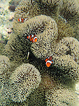 Clown fish swim among the coral that is being restored by a local initiative in Onna Village, Okinawa Prefecture, Japan, on Saturday, June 23, 2012. Photographer: Robert Gilhooly