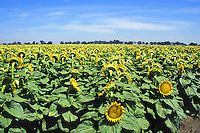 mature sunflower plants Williams, California
