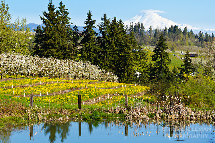 Hood River, OR in the Springtime features pear bloosoms, bright yellow wildflowers with a pond reflection in the foreground.  Rolling hills lead you to Mt Adams seen prominently in the background with a lenticular cloud over it on a blue sky day.