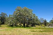 Koa trees on the slopes of Mauna Loa, Big Island.