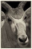 The addax (Addax nasomaculatus), also known as the white antelope and the screwhorn antelope, is an antelope of the genus Addax, that lives in the Sahara desert. Critically endangered.