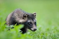 Raccoon dog (Nyctereutes procyonoides) portrait, Kangasala, Finland.
