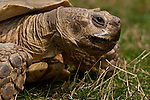 Tortoise looking into camera