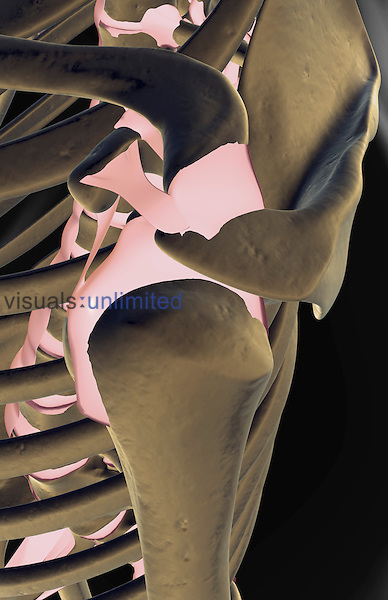 A superior lateral view (left side) of the ligaments of the shoulder. The surface anatomy of the body is semi-transparent and tinted gray. Royalty Free