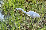 Egret looking for Fish, Upper Newport Bay, CA.