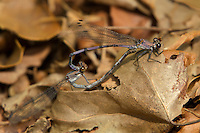 338670008 wild male and female tonto dancer damselflies argia tonto perch in copula on a leaf near a creek in garden canyon fort huachuca cochise county arizona united states