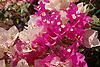 white and pink Bougainvillea blossoms<br /> <br /> flores de Bougainvillea blancas y rosas<br /> <br /> wei&szlig;e und rosa Bougainvillea-Bl&uuml;ten<br /> <br /> bot.: Bougainvillea glabra<br /> <br /> 3008 x 2000 px<br /> 150 dpi: 50,94 x 33,87 cm<br /> 300 dpi: 25,47 x 16,93 cm