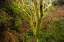 OR01198-00...OREGON - Ferns and moss covered tree in rainforest like environment of the Hidden Creek Trail in the South Slough National Estuarine Research Reserve.