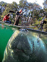 An endangered West Indian manatee rises for a breath as a film crew floats by in the Chassahowitzka National Wildlife Refuge. Many of the gentle giants bear scars from encounters with boats.