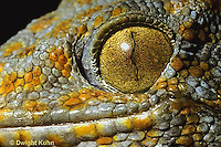 GK05-005e  Tokay Gecko - eye slit closed in bright light -  Gekko gecko