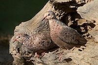 518090038 two wild common ground doves columbina passerina perch in a hollowed out mesquite log in the rio grande valley of south texas