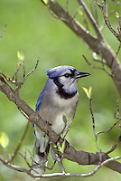 Bluejay, Cyancitta cristata, in tree with new spring buds
