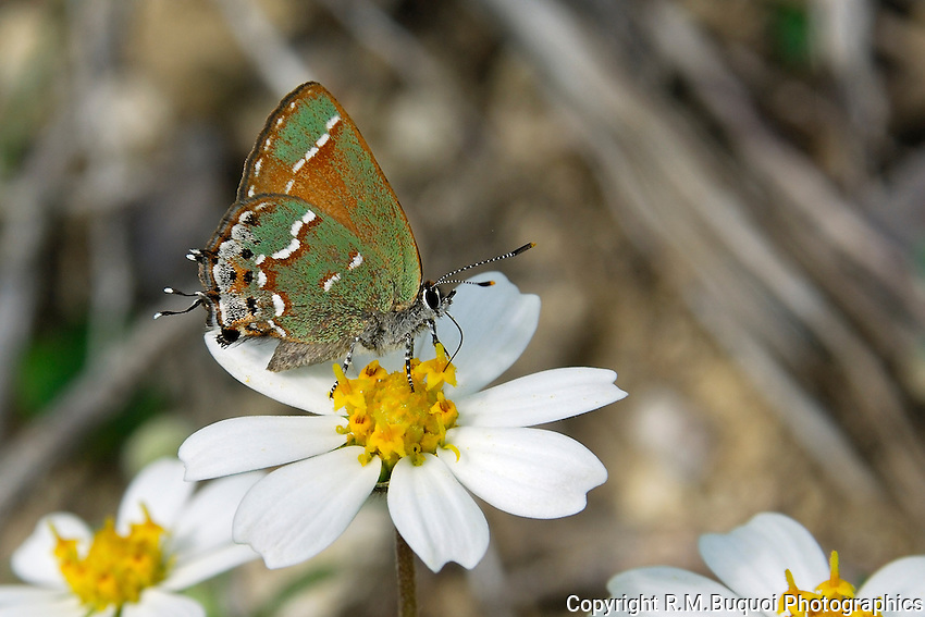 Olive Hairstreak on Blackfoot Daisy