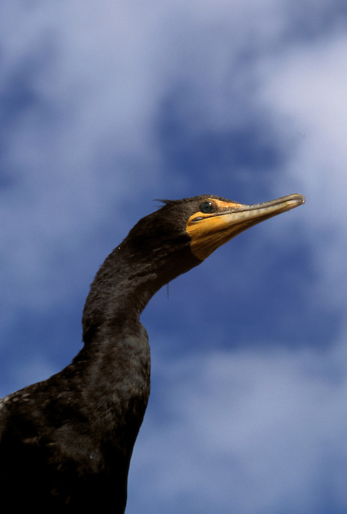FL: Florida Everglades National Park,.cormorant, bird..Photo Copyright: Lee Foster, lee@fostertravel.com, www.fostertravel.com, (510) 549-2202.Image: flever244