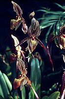 Orchid hybrid: Paphiopedilum Saint Swithin, very early primary hybrid cross of philippinense x rothschildianum, 1901.
