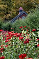 Zinnia garden in bloom.