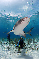 pk11786-D. Tiger Shark (Galeocerdo cuvier) and scuba diver (model released). .Bahamas, Atlantic Ocean..Photo Copyright © Brandon Cole. All rights reserved worldwide.  www.brandoncole.com..This photo is NOT free. It is NOT in the public domain. This photo is a Copyrighted Work, registered with the US Copyright Office. .Rights to reproduction of photograph granted only upon payment in full of agreed upon licensing fee. Any use of this photo prior to such payment is an infringement of copyright and punishable by fines up to  $150,000 USD...Brandon Cole.MARINE PHOTOGRAPHY.http://www.brandoncole.com.email: brandoncole@msn.com.4917 N. Boeing Rd..Spokane Valley, WA  99206  USA.tel: 509-535-3489