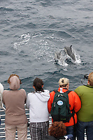 qc71899-D. people on eco-tour boat trip watching Common Dolphins (Delphinus delphis). California, USA, Pacific Ocean. .Photo Copyright © Brandon Cole. All rights reserved worldwide.  www.brandoncole.com..This photo is NOT free. It is NOT in the public domain. This photo is a Copyrighted Work, registered with the US Copyright Office. .Rights to reproduction of photograph granted only upon payment in full of agreed upon licensing fee. Any use of this photo prior to such payment is an infringement of copyright and punishable by fines up to  $150,000 USD...Brandon Cole.MARINE PHOTOGRAPHY.http://www.brandoncole.com.email: brandoncole@msn.com.4917 N. Boeing Rd..Spokane Valley, WA  99206  USA.tel: 509-535-3489