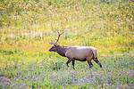 Elk are a common site in Yellowstone.