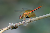 362700012 a wild male band-winged meadowhawk sympetrum semicintum perches on a plant stem near jean blanc canal north of bishop inyo county california united states