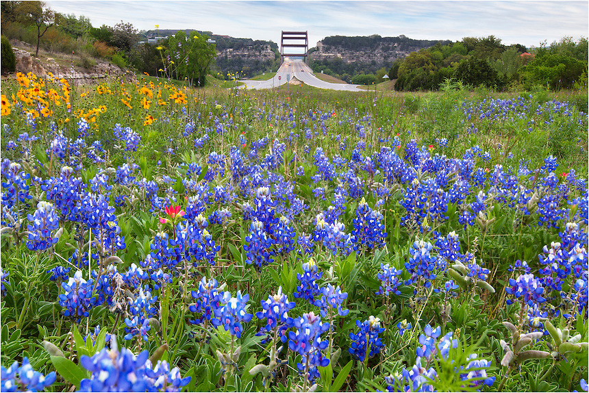 Pennybacker Bridge, also known as the 360 Bridge, was opened for use in Decemember of 1982. Below the 600,000,000 pounds of steel flows the Texas version of the Colorado River. No part of the bridge actually touches the water 100 feet below...In the springtime, the roadsides of the Capitol of Texas Highway (the 360 Loop) are often covered with Texas wildflowers. This bluebonnet image comes from the west side of the 360 bridge and has bluebonnets, coreopsis, and even a few Indian Paintbrush - a nice mix of Texas wildflowers.