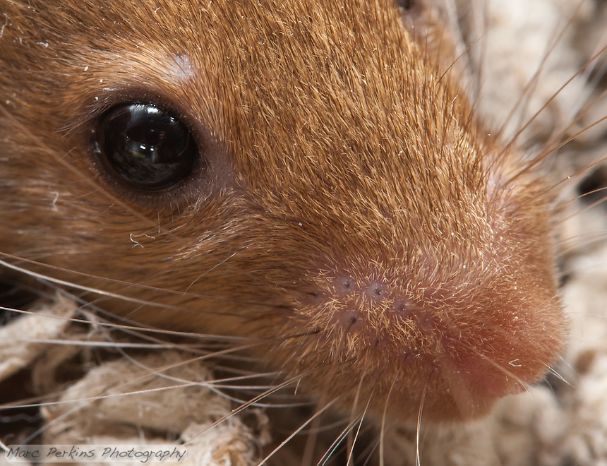 """A closely-cropped version of my """"Mouse face"""" image, focusing on the eye and nose region.  In this image you can clearly see the mouse's eyelashes (both above and below her eye), as well as the whisker attachment points.  Interestingly, some of her whiskers are clearly two strands of hair held closely together."""