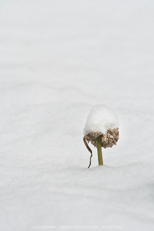 Leek flower with a cap of snow peaking up from the snow-covered in the winter garden