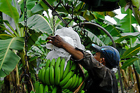 A young Colombian worker hanging up a bunch of bananas on the aircable on the banana plantation in Aracataca, Colombia, 14 March 2006. Eighty percent of the exported bananas in the world are grown in Latin America. Local farms have no other alternative than to sell for a price offered by the multinational company. When working conditions and ecology is in question, the corporations do not have any responsibility as they do not own plantations. Local governments in the attempt of organizing banana export provide low duty taxes on export, they try to eliminate social and enviromental politics to attract the big companies to their countries.